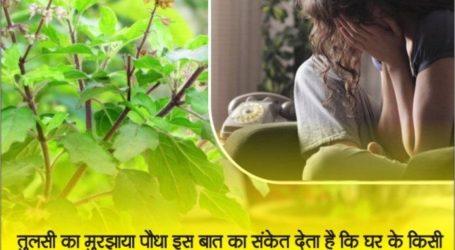 अगर घर में लगाया तुलसी का पौधा सूख कर हो जाए काला, तो आप पर आने वाली है ये गंभीर मुसीबत